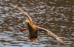 Golden girl in a racing turn! (Steve-h) Tags: park camera ireland dublin orange brown lake black feet nature water birds female turn canon lens outdoors fly flying duck spring movement pond legs action air flight natura racing diagonal april mallard ripples mottled bushypark 2016 rathfarnham steveh specanimal