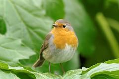 Rouge gorge familier au parc de Bercy  Paris - robin (frimoussec) Tags: paris bird robin rouge gorge bercy parc oiseau 75012 rougegorge plume familier passereau