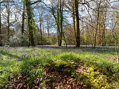 Bluebells in Wickham (martin_swatton) Tags: bluebells olympus pro 28 omd em1 copse polariser wickham 1240 mzuiko upperford
