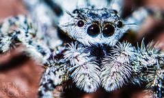 Menemerus bivittatus - 105mm macro (ben.scalf) Tags: macro nature animal bug insect spider jumping nikon wildlife arachnid science micro dslr biology 105mm d3200 bivittatus menemerus