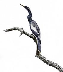 Anhinga in Spring (Jeff Clow) Tags: wild usa nature birds dallas spring texas wildlife april mothernature rookery anhinga 2016 jeffrclow