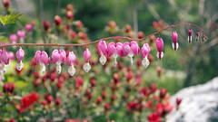 Dicentra Spectabilis(Bleeding Heart) (Johnnie Shene Photography(Thanks, 1Million+ Views)) Tags: pink flowers wild plant blur flower colour macro nature floral beautiful horizontal canon lens wonder photography eos rebel living daylight dc spring interesting flora focus kiss asia day heart natural image outdoor background wildlife sigma korea depthoffield full korean western modified bleeding awe length freshness foreground dicentra paju t3i x5 organism  spectabilis  fragility 600d 1770mm  f284