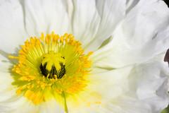 Blanc (StephanExposE) Tags: fleur flower nature parc parcfloraldeparis jardin garden paris iledefrance france stephanexpose vincennes macro macrophotographie canon 600d 100mm 100mmf28lmacroisusm