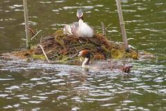 grbe hupp (TATIUMZI) Tags: france eau sony tokina marais oiseaux sudouest aquitaine gironde leteich sonyalpha tokina30028 sonyalpha700