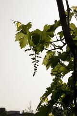 Baby Grapes (zeevveez) Tags: canon grapes zeevveez