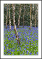 Boys in Blue (Chalky666) Tags: wood trees painterly flower tree westsussex bluebell southdowns silverbirch