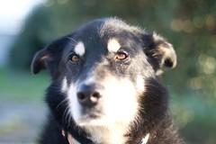 16_IMG_2686 (dingsdale) Tags: dog scylla