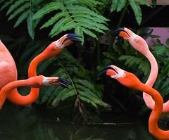 Face Off (gbarrow30305) Tags: dominicanrepublic flamingo flock group phoenicopterusruber puntacana lagunabavaro