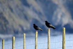 Choughs on the posts (karen leah) Tags: chough