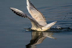 Fishing (malc1702) Tags: water closeup outdoors wings wildlife gull waterdroplets sanctuary silvergull fantasticnature gulldiving nikond7100 tamron150600