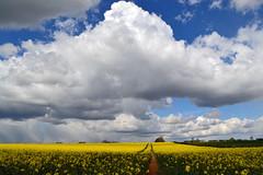 Clouded Yellow (AndyorDij) Tags: uk england storm yellow clouds skyscape spring unitedkingdom tracks rutland hedgerow oilseedrape 2016 empingham highfieldsfarm