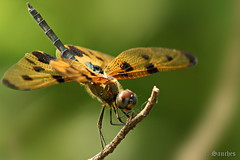 The Variegated Flutterer Dragonfly (savio.sanches) Tags: green nature yellow outdoors wings asia dragonfly wildlife south wing picture variegated mumbai common libellulidae variegata flutterer rhyothemis
