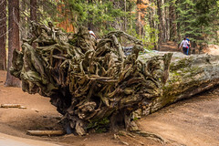 The Auto Log (mon_ster67) Tags: tree canon nationalpark treetrunk mon bigtree root canoneos sequoia sequoianationalpark fallentree gianttree autolog canoneosrebelt5i mon theautolog