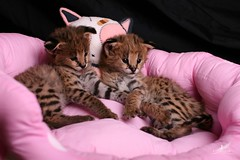 L'UNICORNE (Ulyana Lunicorne) Tags: pet cats pets hot cute love beautiful cat kitten kitty domestic meow luxury exclusive serval pur     cattery      catmoments  catmoment   lunicorne servaldomestic