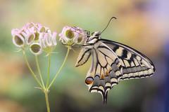 "Papilio machaon su ombrellini pugliesi-""Tordylium apulum L."" (Michele Villafranca.) Tags: macro sony naturallight natura f25 farfalla papiliomachaon macaone tamron90mmmacro a6000"