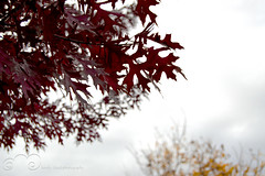 Red Branch Oak Tree (LonelyCloudPhotography) Tags: fall leaves texas foliage oaktree redoak