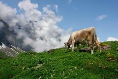 Alpen-Kuh (welenna) Tags: summer sky alps animals landscape switzerland tiere kuh cow view wolken alpen schwitzerland titlisundtrbsee