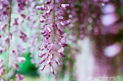 () Tags: flower japan 50mm spring fuji purple kodak bokeh f14 olympus m42 fujifilm 100 autos om  fujica st705 fujicast705 50mmf14   ektar wistaria  filmphotography gzuiko     omsystem     kodakektar100 ektar100 olympusomgzuikoautos50mmf14