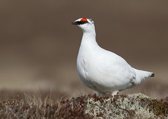 Rjpa - Rock Ptarmigan - Lagopus muta (Baddi89) Tags: bird nature birds animal iceland outdoor wildlife fugl sland nttra rjpa dr rockptarmigan fuglar lagopusmuta