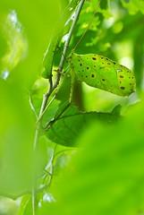 Leaf-mimicking katydid (Celidophylla albimacula) (pbertner) Tags: costa leaf rica katydid mimicry hitoycerrere