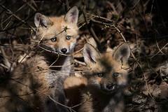 Renard roux / Red Fox / Vulpes vulpes (FRITSCHI PHOTOGRAPHY) Tags: redfox vulpesvulpes renardeau jardinbotaniquedemontreal renardroux