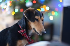 Basil Christmas 2015 (spandexuk1) Tags: uk cute nikon tie full bow frame daxie d600 jacksund