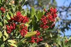 Christmas Berries (brian dean bollman) Tags: christmas berry sonomacounty heteromeles healdsburgca toyon californiaholly healdsburgridgeopenspacepreserve heterolmelesarbutifolia