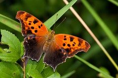 2015 Question Mark Butterfly (Polygonia interrogationis) 7 (DrLensCap) Tags: park chicago robert nature butterfly bug insect illinois village mark north center il question kramer polygonia interrogationis
