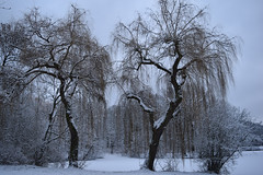Weeping willows in the snow (mikros.anthropos) Tags: trees winter snow tree berlin weepingwillow bume baum treptowerpark trauerweide nikond3300