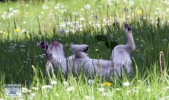 Jack-Russel Terrier (6) (Enjoy my pixel.... :-)) Tags: dog jack russel hund terier