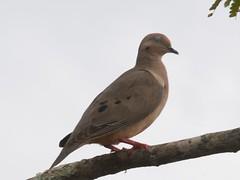 DSC_2179 (Bird Brian) Tags: eareddove