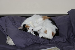 Pillow Mew (Tyrannodactyl) Tags: cute cat kitty pillow calico meow mew