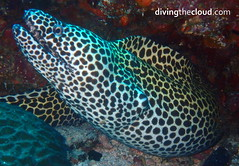 Honeycomb eel - Morena panal (divingthecloud) Tags: sea mar agua diving eel maldives morena buceo maldivas fotosub bajoelagua honeycombeel morenapanal