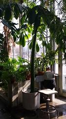 Amorphophallus titanum at the Jordan Hall greenhouse (horsepj) Tags: plant indiana greenhouse tropical bloomington aroid