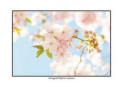 longing for spring.  Just testing frame made in LightRoom (bjrn_c) Tags: flower spring bluesky cherryblossom sakura cherrytree hanami cherrytwig