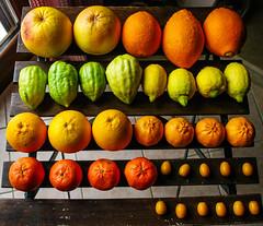 Citrus Biodiversity (Angelo Petrozza) Tags: washington lemon rosa citrus navel pompelmo limone biodiversity kumquat mandarino cedro tarocco clementino agrumi biodiversit nocellaro