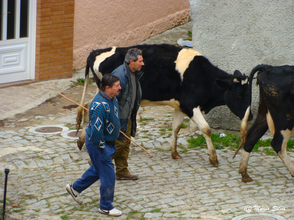 Aguas Frias (Chaves) - ... levando as vacas para a corte ...