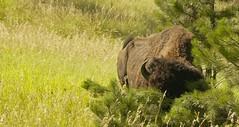 South Dakota (bonnie.jwilliams) Tags: park buffalo national dakota custer