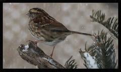 Sentinelle d'hiver, Winter Sentinel (francepar95) Tags: snow storm bird ice vent wind sparrow verglas neige oiseau frdric whitethroatedsparrow tempte nester passereau nicheur bruantgeorgeblanchehiver