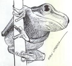 rana a lapicero (ivanutrera) Tags: animal pen sketch drawing frog draw rana dibujo ilustracion lapicero boligrafo anfibio dibujoalapicero dibujoenboligrafo