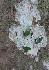 Leaf cutter ants at Arenal, Costa Rica (OttawaRocks) Tags: leaves leaf costarica ant ants leafcutter