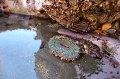 Starburst Anemone (jschefski) Tags: california nature water rock wildlife anemone tidepool seaanemone palosverdes