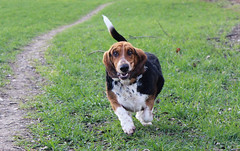 So fast (blekmartin) Tags: dog game funny walk hound basset runasfastasyoucan
