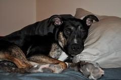 Buddy Boy (ariellekorner) Tags: dog animal puppy ears cuddling