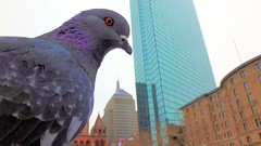 My pigeons (Brooks Payne) Tags: park city urban love nature public birds animal boston skyscraper geotagged massachusetts pigeons sony newengland cybershot hancock copley backbay sonycybershot brooks copleysquare tx30 brooksbos dsctx30