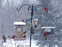 Cardinals in the Snow (Picsnapper1212) Tags: winter red white snow bird nature birds animal cardinal feeder scene feeders cardinals
