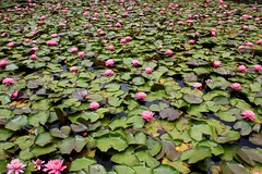 Royal Botanic Gardens of Victoria (alexispadilla) Tags: travel flowers garden pond lily melbourne victoria lilies botanicgardens royalbotanicgardens lilypond kingsdomain