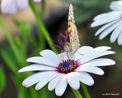 DSC_0139 (rachidH) Tags: flowers vanessa nature cosmopolitan blossoms egypt butterflies insects bee cairo papillon daisy blooms dame africandaisy cynthia paintedlady osteospermum vanessacardui blueeyeddaisy vanessedeschardons labelledame vanesse rachidh
