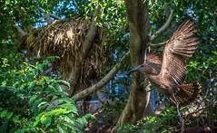 2016-02-21_08-56-29 (craigchaddock) Tags: hamerkop scopusumbretta scrippsaviary sandiegozoo hammerkopf hammerhead hammerheadstork umbrette umberbird tuftedumber anvilhead hammerkop birdsinflight birdinflight bif