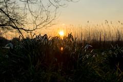 sneeuwklokjes (Remke Luitjes) Tags: sunset sun flower green netherlands grass spring zonsondergang groen nederland gras lente zon bloemen sneeuwklokjes